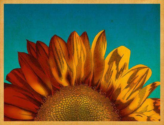 A Sunflower by MegShearer