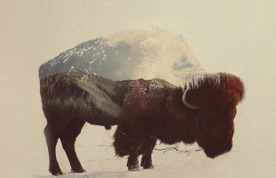 Buffalo by Andreas Lie